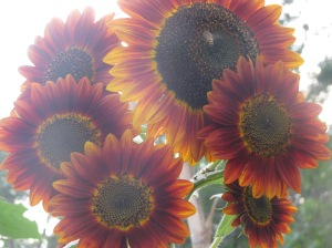heirloomsunflowers