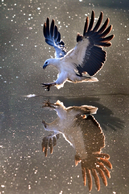 eagle in water mirror