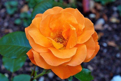 rose-2481043__340
