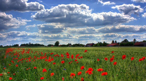 field-of-poppies-50588__340
